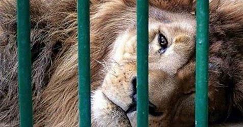 Photo of Circo: Questo povero leone ha vissuto 13 anni chiuso in una gabbia ma poi…