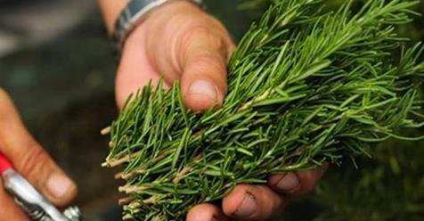 Photo of Rosmarino: Dicono che questa pianta cura un sacco di malattie, e non è sconosciuta per te, è il rosmarino.
