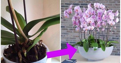 Photo of Orchidea: Il trucco infallibile per ridare vita ad un'orchidea sfiorita!