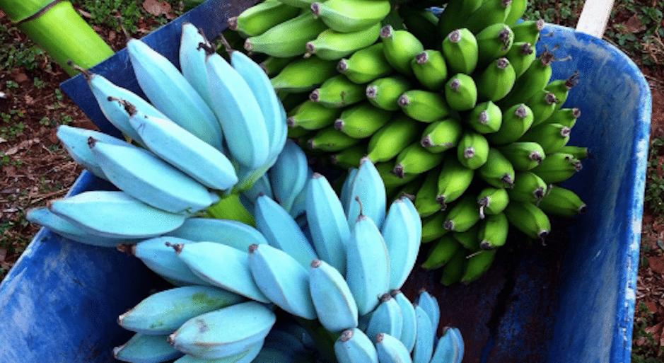 Photo of Banana: Arriva in Italia la Banana Blu al gusto di Gelato e non ingrassa