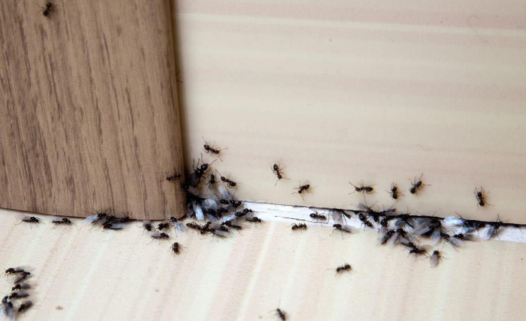 formiche-in-casa-
