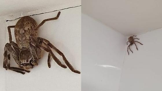 Enorme ragno cacciatore